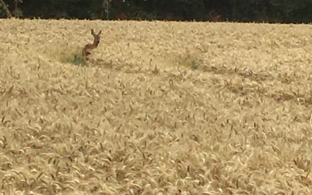 Roe Deer Watching Us Calmly…